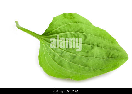 greater plantain leaf isolated on white background - Stock Photo