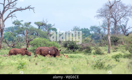Southern white rhinoceros encounter lions in Kruger National park, South Africa ; Specie Ceratotherium simum simum family of Rhinocerotidae - Stock Photo