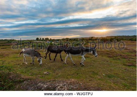Deadman Hill, Godshill, New Forest, Hampshire, UK, 3rd September 2019, Weather: Donkeys on the move under a shrouded sunset over the south of England national park. It may be the last day of summer weather with cooler, more autumnal conditions set to spread from the north west tomorrow. Credit: Paul Biggins/Alamy Live News - Stock Photo