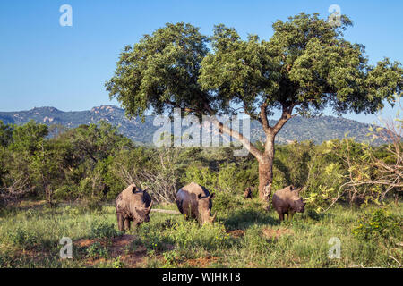 Four Southern white rhinoceros in green scenery in Kruger National park, South Africa ; Specie Ceratotherium simum simum family of Rhinocerotidae - Stock Photo