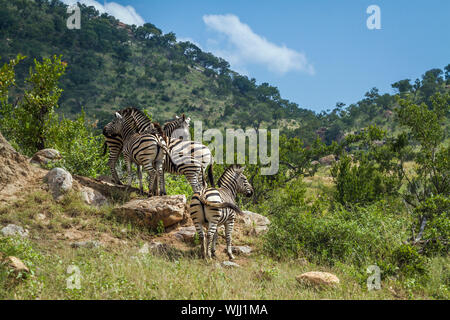 Small group Plains zebras in green mountain scenery in Kruger National park, South Africa ; Specie Equus quagga burchellii family of Equidae - Stock Photo