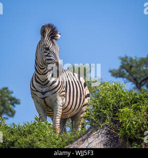 Plains zebra standing on a rock isolated in blue sky in Kruger National park, South Africa ; Specie Equus quagga burchellii family of Equidae - Stock Photo