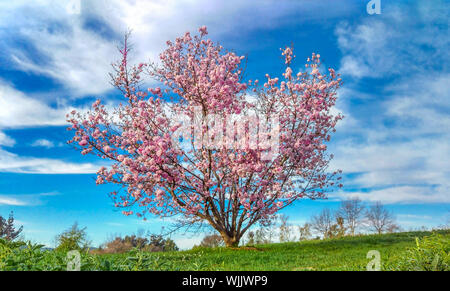 Cherry Blossoms Growing On Tree Over Field Against Blue Sky - Stock Photo