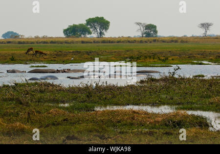 Common hippopotamus (Hippopotamus amphibius), Busanga Plains. Kafue National Park. Zambia - Stock Photo