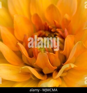 A macro shot of a dahlia noordwijks glorie bloom. - Stock Photo