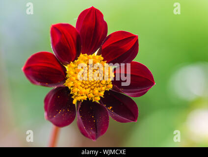 A macro shot of a dahlia mexican star bloom. - Stock Photo
