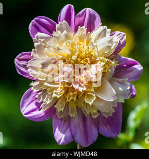 A macro shot of a dahlia take off bloom. - Stock Photo