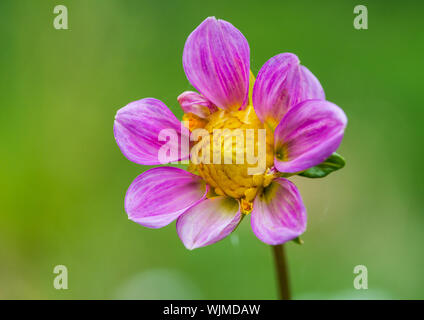 A macro shot of a pink dahlia bloom. - Stock Photo
