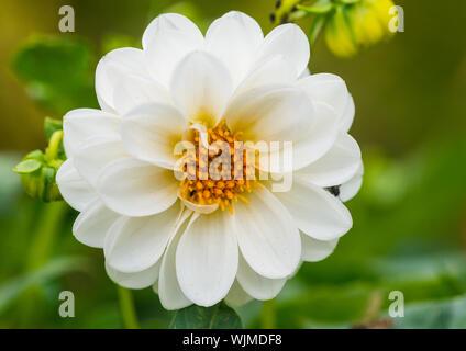 A macro shot of a white dahlia bloom. - Stock Photo