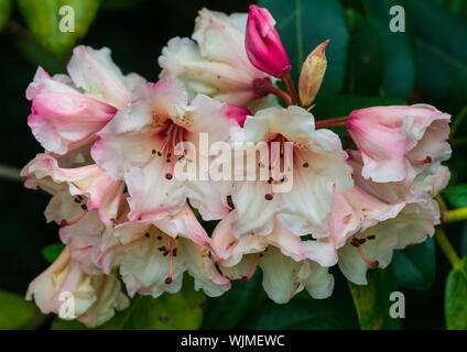 A macro shot of some pink rhododendron bush blooms. - Stock Photo