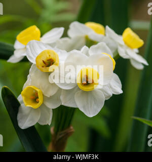 A macro shot of daffodil avalanche blooms. - Stock Photo