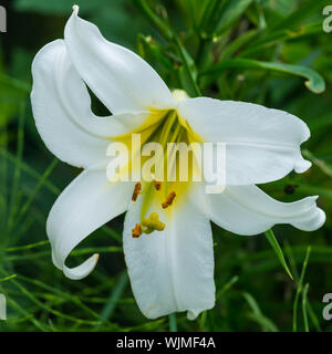 A macro shot of a white regal lily bloom. - Stock Photo