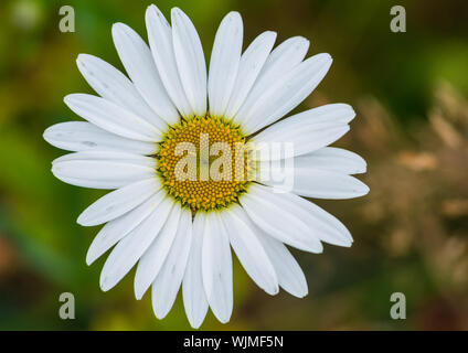 A macro shot of an oxeye daisy bloom. - Stock Photo