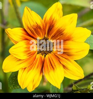 A macro shot of a sunflower solar flash flower. - Stock Photo