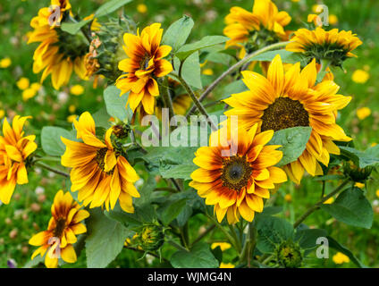 A macro shot of a group of sunflower solar flash blooms. - Stock Photo