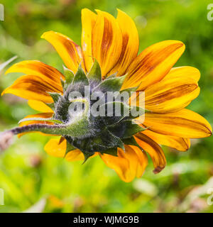 A macro shot of the reverse side of a sunflower bloom. - Stock Photo