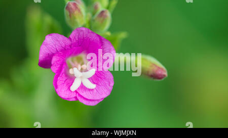 A macro shot of a pink great willowherb bloom. - Stock Photo