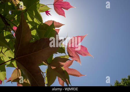 Leaf of American storax tree close-up. Detailed surface illuminated by sunlight. Purple colors on leaf and sky in background. - Stock Photo