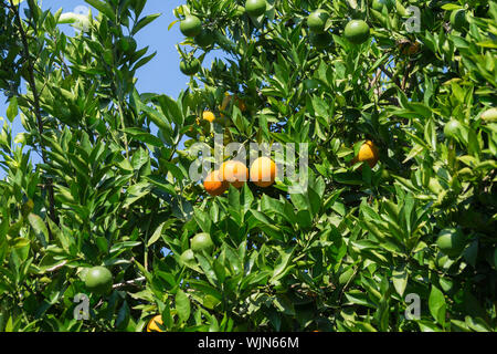 Oranges On Tree In Orchard - Stock Photo
