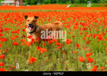 Dog On Poppy Field - Stock Photo