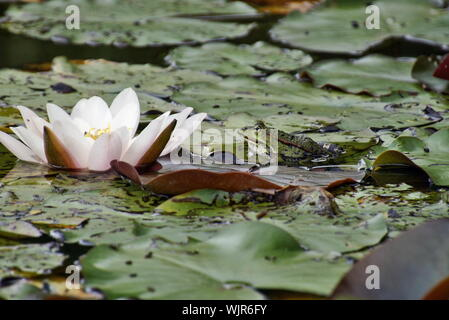 Frog On Leaf By Water Lily In Pond - Stock Photo