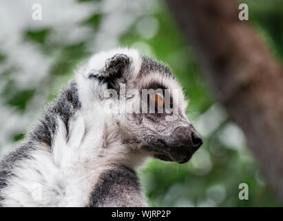 Close-up Of Ring-tailed Lemur - Stock Photo