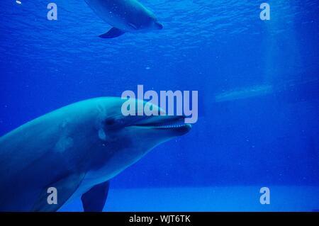 Dolphins Swimming Underwater In Aquarium - Stock Photo