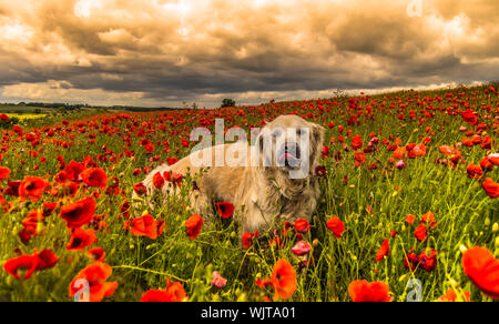 Dog On Field Against Dramatic Sky - Stock Photo