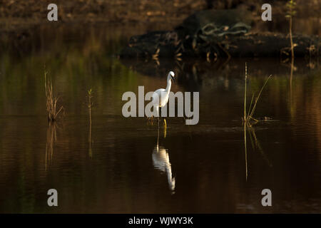Little Egret with its reflection near dusk - Stock Photo
