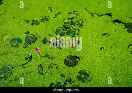 High Angle View Of Water Lilies Blooming In Moss Covered In Lake - Stock Photo
