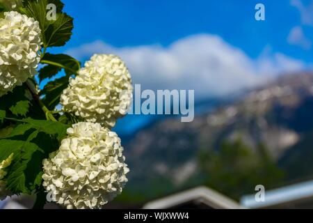 Close-up Of White Hydrangea Flowers - Stock Photo