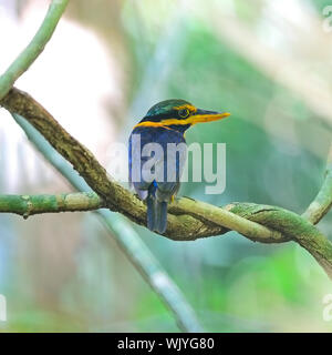 A beautiful Kingfisher, male Rufous-collared Kingfisher (Actenoides concretus), standing on a branch, taken in Thailand - Stock Photo