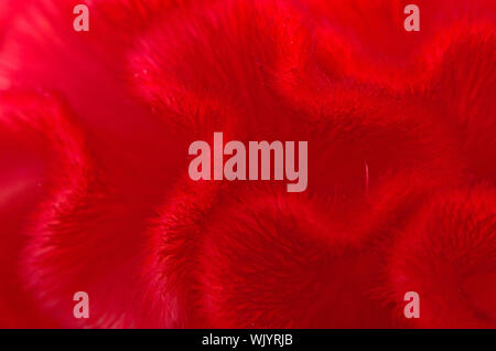 Red background abstract of Cockscomb or Chinese Wool Flower (Celosia argentea) - Stock Photo