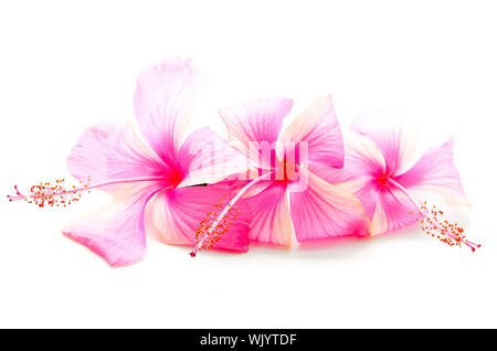 Colorful pink Hibiscus flower, isolated on a white background - Stock Photo