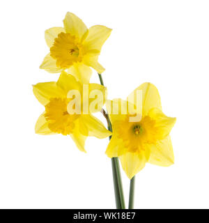 Yellow jonquil flowers isolated on white background. - Stock Photo