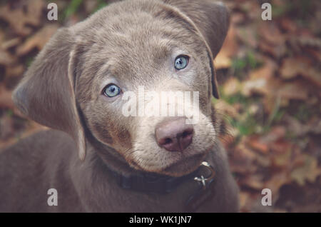 Labrador Retriever Puppy On Swing - Stock Photo