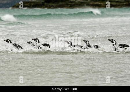Magellanic penguins (Spheniscus magellanicus) on the beach at Saunders Island, Falkland Islands - Stock Photo