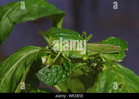 male great green bush cricket or katydid Latin tettigonia viridissima on a capsicum leaf in summer in central Italy - Stock Photo