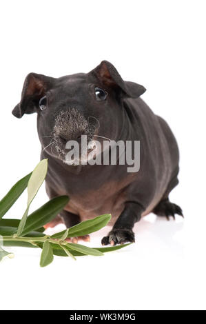 skinny guinea pig and olive branch on white background - Stock Photo