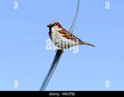 Common male house sparrow resting on an electrical wire in the city against blue sky. - Stock Photo