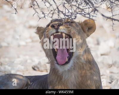 Close-up Portrait Of Lioness Yawning, Etosha National Park, Namibia - Stock Photo