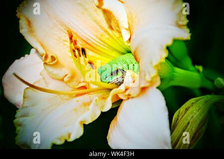 Close-up Of Frog In Day Lily Flower - Stock Photo