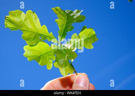 Stiel-Eiche, Qercus robur, Stieleiche, Quercusrobur, Eichenlaub, Natur, Blätter, fünf, jung, spriesen, Jungpflanze, Leben, Hoffnung, Entwicklung, Wach - Stock Photo