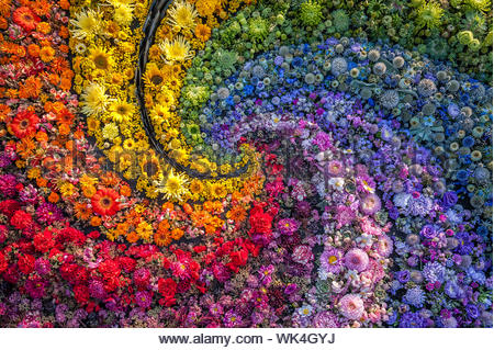 A carpet of colorful flowers like a rainbow. Flowers background.Top view. Holiday background. - Stock Photo