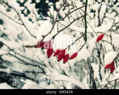 Close-up Of Snow Covered Rose Hips On Tree - Stock Photo