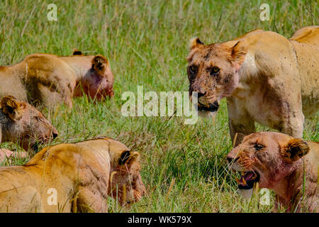 Female lions after kill, blood on face Masai Mara Kenya Africa - Stock Photo
