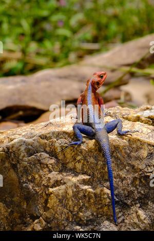 Mwanza Flat-headed Rock Agama Lizard, Mara River, Kenya - Stock Photo