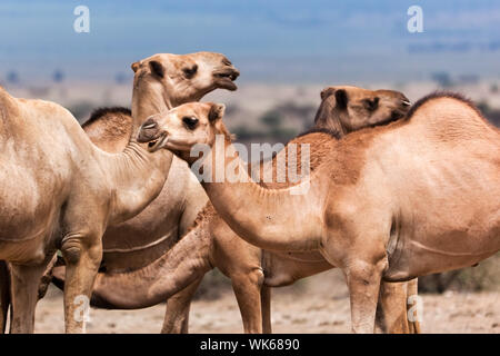 Group of camels under the tree in Africa - Stock Photo