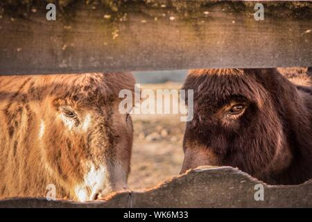 Close-up Of Two Donkeys At Farm - Stock Photo