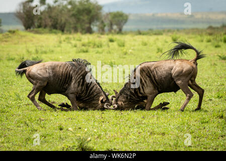 Two male blue wildebeest fight in grass - Stock Photo